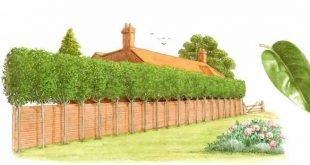 Bester Baum für Privatsphäre Zaun | ... japonicum, Baum-Liguster, gepflanzt als erhöhte Privatsphäre