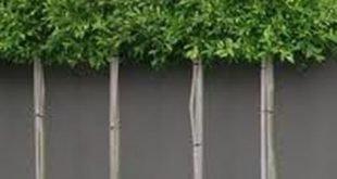 Faszinierende, immergrüne, gepflückte Bäume für ...