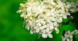 Sommerblühende Sträucher bieten Farbe, wenn viele andere Frühlingspflanzen ...