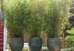 wachsender Bambus in Behältern - Google Search