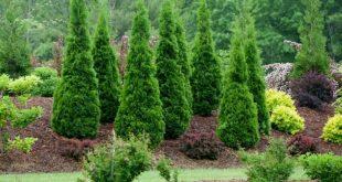 1,75 € Amerikanischer Lebensbaum Baumsamen, (Thuja occidentalis) Preis für ...