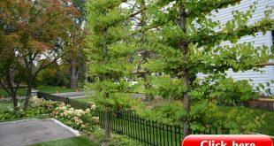Dirt Simple - Spalierbäume oberhalb der Zaunlinie - könnten Obstbäume sein