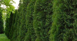 Thuja Green Giants: Die Fakten und mehr