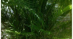 Areca Palm: der beliebteste und kosteneffektivste Sichtschutz für eine ...