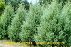 Cypress - Arizona Carolina Sapphire / Größe 2