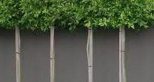 Faszinierende immergrüne gepflegte Bäume für den Außenbereich 67