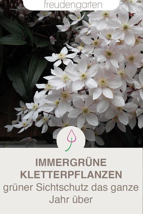 Immergrune Kletterpflanzen Immergrune Jardin Schneidpflanzen
