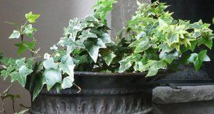 Pflanzen Sie einen Pflanzenbildschirm mit englischer Efeu-Pflanze