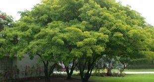 Pongamia pinnata - Pflegepflanzer - Sunshine Coast Brisbane South East Queen ...