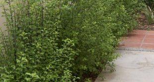 Silberglanz Pittosporum (Pittosporum tenuifolium Silberglanz)