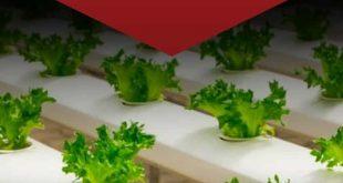 Survival Gardening - Wie man Salat zuhause züchtet