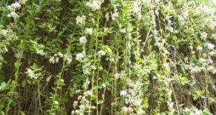 Vernonia elaeagnifolia - Vorhang-Schlingpflanze, Vernonia-Schlingpflanze - Es ist eine Schlingpflanze ...