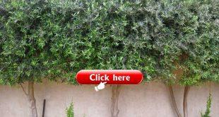 wilder Olivenbaum im Garten - Google-Suche
