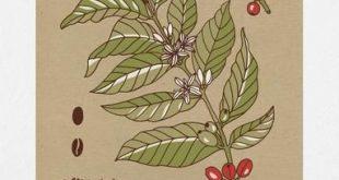 Kaffeepflanze 11 x 14 botanischen Print