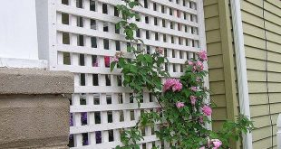 Kletterrosen auf diesem Gitter, am Ende der Veranda hinter der Schaukel