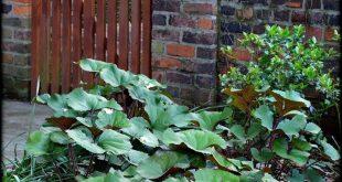 Ligularia, ein Muss im Schatten