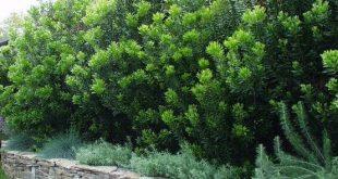 Myrica californica - Pazifikwachs Myrte | Pflanzenliste ...