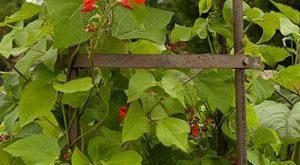 Pflanzen für die Privatsphäre - schnell wachsende Einjährige