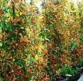 Photinia Red Robin Rahmen