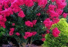 Pink Velour Crape Myrtles ™ - ein beeindruckender, farbenfroher Zierbaum, ...