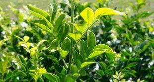 Murraya Paniculata - Mock Orange oder Orange Jessamine ist eine einfach atemberaubende H ...