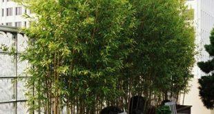Bambuspflanzen im Topf für Privatsphäre direkt vor dem Küchenfenster.