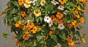 Blackeyed Susan Rebe SAMEN MISCHEN FARBE, (Thunbergia alata) Weiß, Gold und Gelb