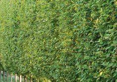 Indische Lorbeerfeige ist eine gute Wahl für eine größere Heckenpflanze. Es wächst...