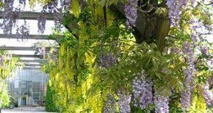 Kletterpflanzen, Weinpflanzen, Schlangen als Schirm im Garten, zum Beispiel ...