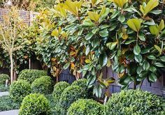 "Privacy Plants - Die Magnolia Grandiflora ""Little Gem"" war ein beliebtes ..."