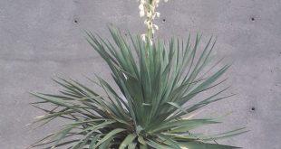 Yucca-Blüten: Gründe, warum eine Yucca-Pflanze nicht blüht