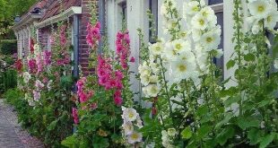 30 + HOLLYHOCK INDIAN SPRING, Alcea Rosea / True Heirloom / mehrjährige Hirsch resistente Blumensamen
