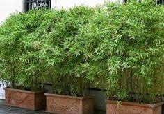 Bambus in der Wanne kann eine Terrasse im Garten oder einen Balkon mit Wohnzimmer haben.