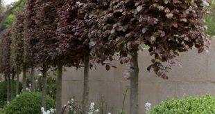 #Beautifully_Trimmed Tree Hedge - Diese Hecke aus Kupferbuchen ist ein ...
