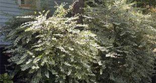Gute Siebpflanzen für Klimaanlagen etc ... Aus dem Magazin: Living Screens - Neil Sperry & ...