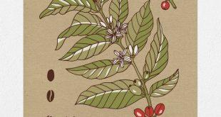 Kaffeepflanze Botanical - 11 x 14 Siebdruck