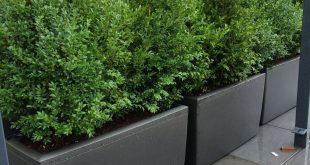 Natürlicher Buxus gepflanzt in Barrierepflanzgefäßen, um natürliche grüne Hecken / Zäune ...