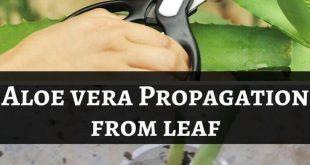 Aloe Vera Pflanzenpflege - Die beste Art, Aloe Vera zu Hause zu pflegen