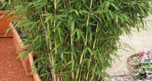 Bambus ist der perfekte Sichtschutz - die Pflanzen sind langlebig, kräftig und ...
