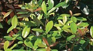 Cleyera Japonica / 3 im Behälter