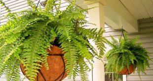 Die 7 besten Farne, um in Blumenampeln zu wachsen #Best #den #Farne # Hanging # Baskets ...