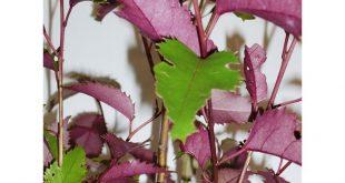 Finden Sie Pflanzen Screen-it Hoheria Populnea 3.3L Lila Welle bei Bunnings Warehouse. Vi ...