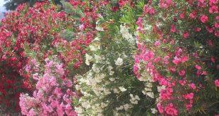 Garten Privacy Wall Ideas Privacy Pflanzen Oleander Terrasse Gesehen Balkon G