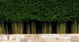 Gracilis - die beste Bambuspflanze für die Sichtschutzkontrolle
