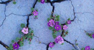 Lila Blüten wie Veilchen wachsen aus Bürgersteigsrissen - #cracks #flowers #gro ...
