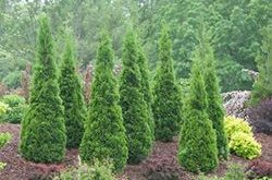 Nordpol® - Lebensbaum - Thuja occidentalis