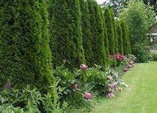 So platzieren Sie einen Sichtschutzzaun mit Tree of Life Pyramidalis - #e ...