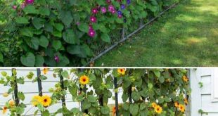 Bunte Pflanzenwände wie Morning Glory und Blackeyed Susan Vine sorgen für Abwechslung
