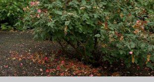 So pflegen Sie Rosen im Sommer - Gartengestaltungen mit Rosen - #Care #Designs ...