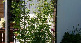 Split Clematis und Lavendel
